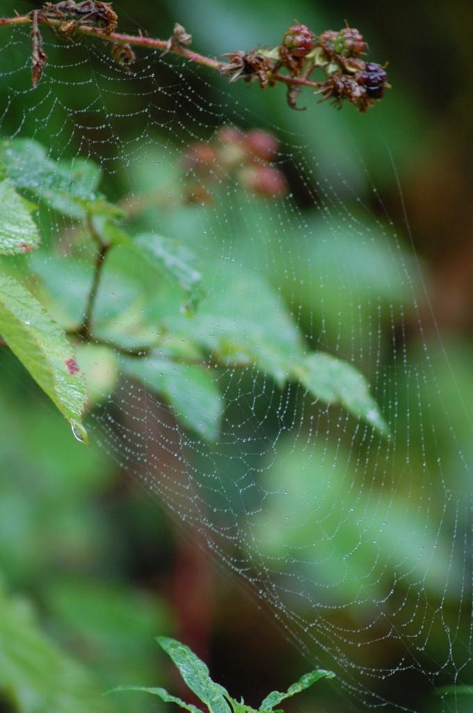 morning dew. spider's gate. ripening fruit