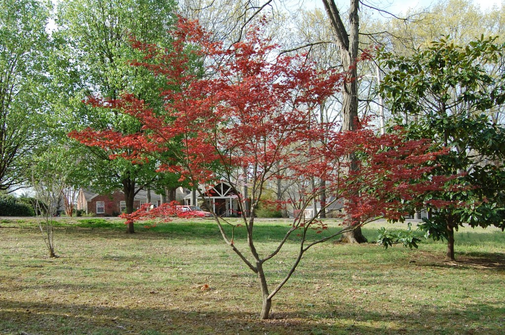 Spring - Japanese Red Maple