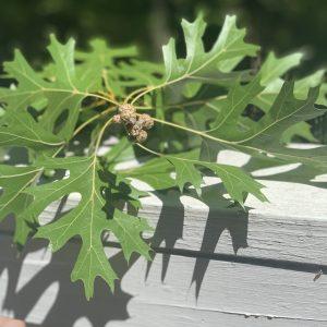 Oak leaves resting on a wall